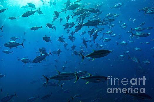 Tuna Dreams III by Adrian E Gray