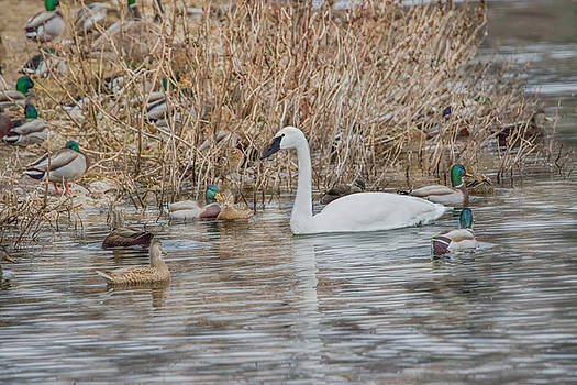 Nikki Vig - Tundra Swan Migrating Thru