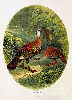 Turkey from The Sportsman and Naturalist Restored by Pablo Avanzini