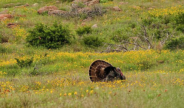 Turkey in Wichita Mountains by Katherine Worley