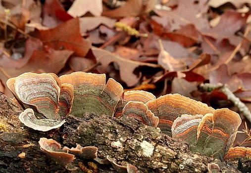 Turkey Tail Bracket Fungus by Sheila Brown