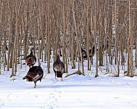 Turkey Trot Two by Kathy M Krause