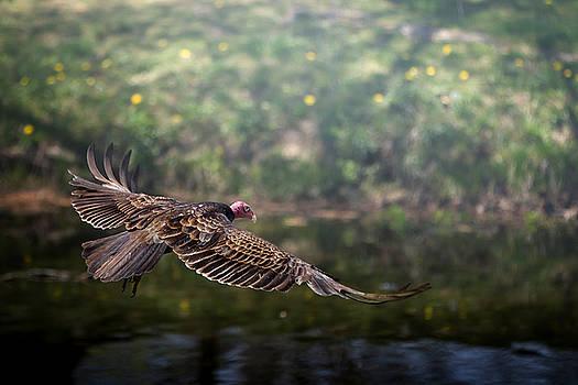 Turkey Vulture in Flight by Victoria Winningham
