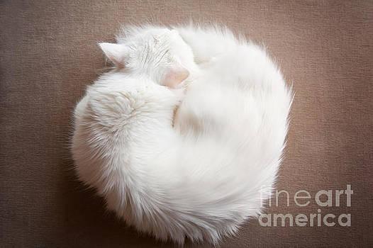 Turkish Angora cat curled up by Arletta Cwalina