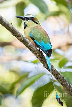 Oscar Gutierrez - Turquoise-browed motmot