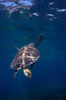 Turtle Ascending by Steven Dramstad