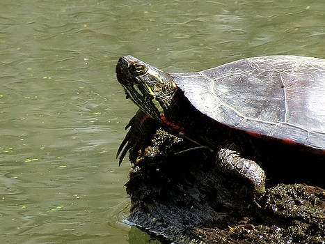Turtle Bask by Azthet Photography