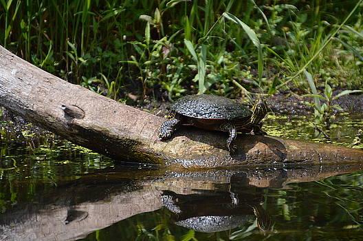 Turtle by Erin Clausen