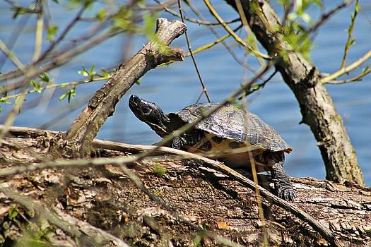 Andrew Davis - Turtle on a Log