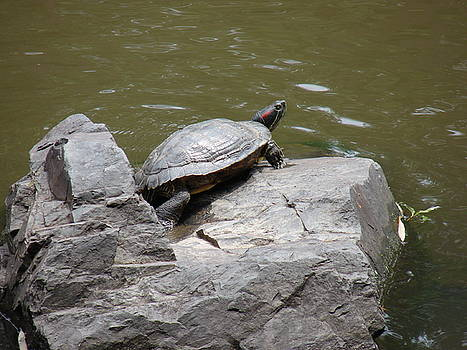 Turtle on the rocks by Renee Cain-Rojo