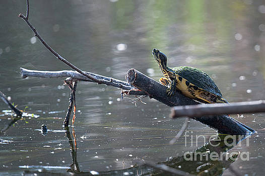 Turtle Time by Dale Powell