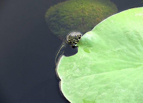 Turtle with a Fur Coat by Rosalie Scanlon