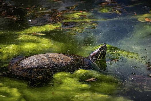 Turtle's Hello by Victoria Winningham