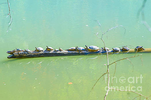 Turtles  Sun Bathing  by Peggy Franz
