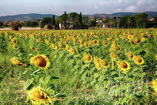 Tuscan Sunflowers by George Oze