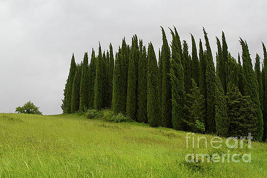 Tuscany Cypress Trees by Denise Lilly