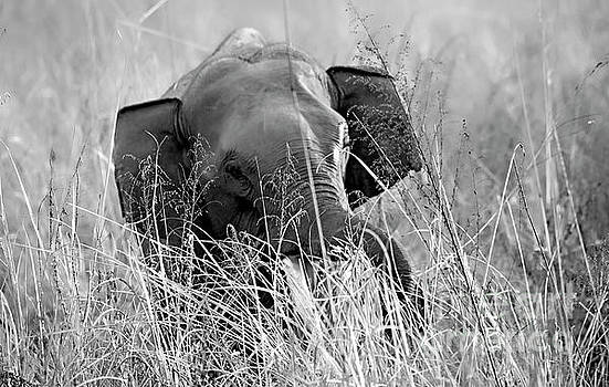 Tusker in the grass by Pravine Chester