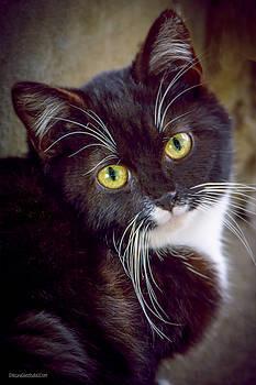 LeeAnn McLaneGoetz McLaneGoetzStudioLLCcom - Tuxedo Kitten