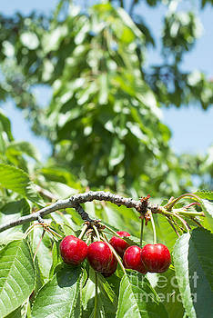 Twig with red cherries by Deyan Georgiev