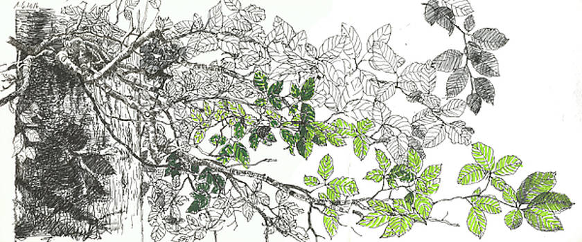 Martin Stankewitz - twigs and leaves of a beech tree, colored nature sketchbook drawing