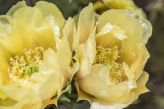 Twin Blossoms by Laura Pratt