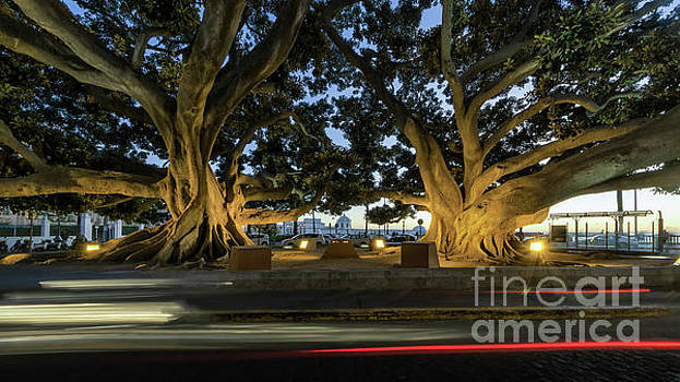 Twin Giant Ficus  Cadiz Spain by Pablo Avanzini
