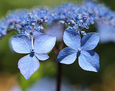 Twin Hydrangeas by Beth Fox