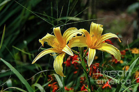 Bob Phillips - A Pair of Yellow Lilies