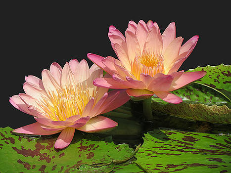 Twin Pink ilies by Vijay Sharon Govender