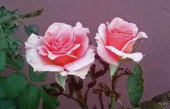 Twin Pink Roses by Jay Milo