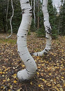 Twisted Aspen by Tom Daniel