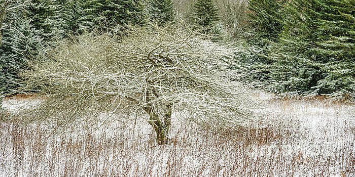 Twisted Dotted Thorn Tree Snow by Thomas R Fletcher