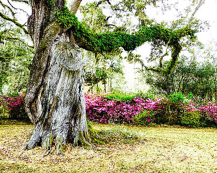 Terry Shoemaker - Twisted Live Oak Tree