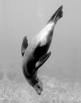 Twisting Sea Lion by Brian Puyear