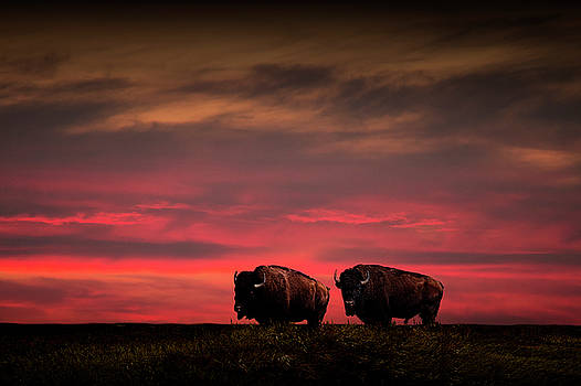 Randall Nyhof - Two American Buffalo Bison at Sunset