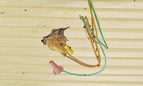 TWO  BABY  HUMMINGBIRDS ALMOST GROWN UP one by Carl Deaville