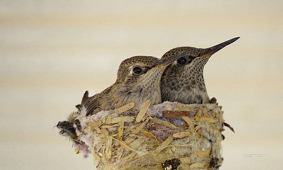 TWO  BABY  HUMMINGBIRDS ALMOST GROWN UP three by Carl Deaville