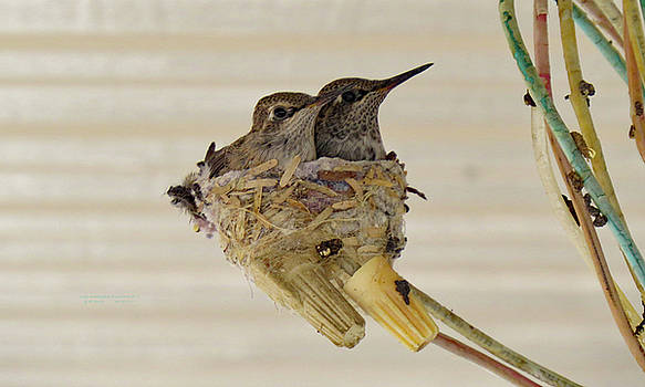TWO  BABY  HUMMINGBIRDS ALMOST GROWN UP two by Carl Deaville