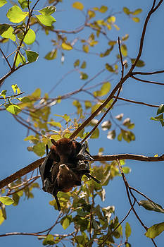 Two Bats hanging together in a gum tree at Katherine Gorge, Australia by Daniela Constantinescu