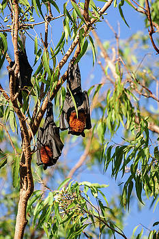 Two bats in a gum tree at Katherine Gorge, Australia by Daniela Constantinescu