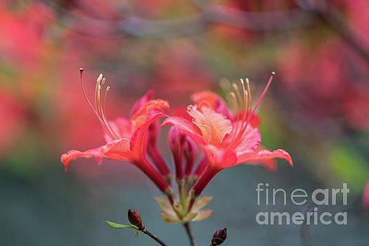 Mike Reid - Two Beautiful Azalea Blooms