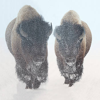 Two  Bison In Snow at Yellowstone Park by OLena Art by OLena Art - Lena Owens