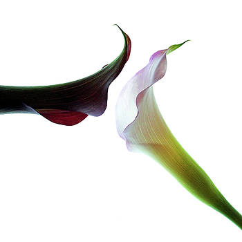 Two Calla Lilies by Beth Fox