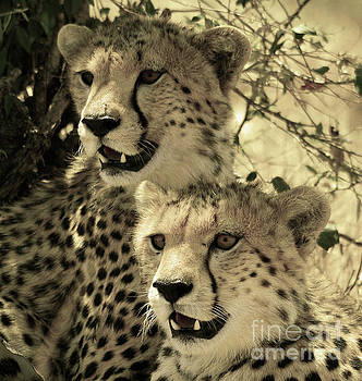 Two cheetahs by Frank Stallone