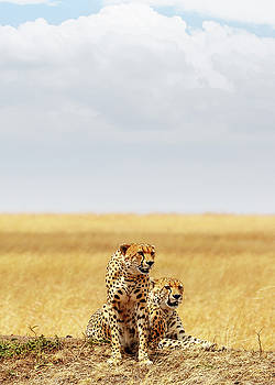 Susan Schmitz - Two Cheetahs in Africa - Vertical with Copy Space