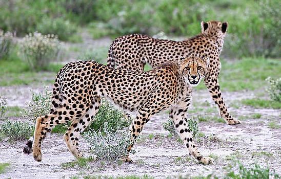 Two cheetahs, Namibia wildlife by Wibke W