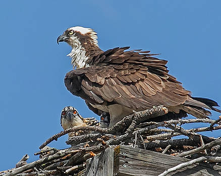 Two Chicks in a Nest by Diana Marcoux