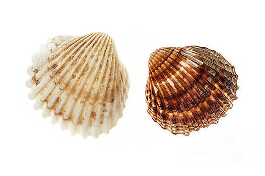 Two cockle shells by Elena Elisseeva