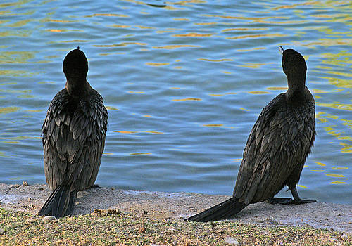 Two cormorants. by Robert Rodda
