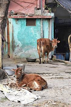 Two Cows - Rishikesh India by Kim Bemis